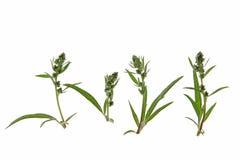 Mugwort (Artemisia vulgaris) Royalty Free Stock Image