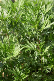 Mugwort, Artemisia vulgaris plant and green leaves Royalty Free Stock Photos