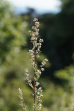 Mugwort or Common wormwood (Artemisia vulgaris) Stock Photo