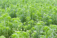 Mugwort Stock Photography