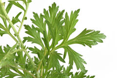 Mugwort. Stock Photography
