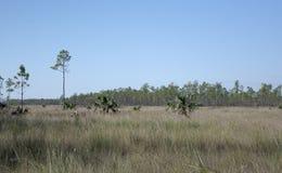 Muhly engazonne l'élevage en montagnes de prairie et de pin de marne dans les marais la Floride Image libre de droits