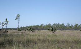 Muhly grasses growing in marl prairie and pine uplands in the Everglades Florida Royalty Free Stock Image