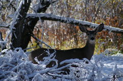 Muilezel-eared damhinde in de sneeuw Royalty-vrije Stock Foto's