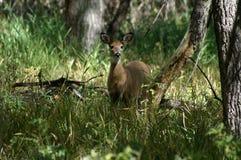 Muilezel-eared damhinde die omhoog eruit zien Royalty-vrije Stock Afbeelding