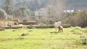 Muilezel en poney het weiden op het gebied stock video