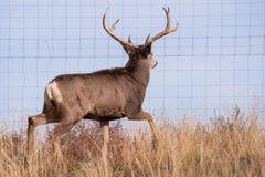 Muilezelherten Buck Looking voor het Openen in een Omheining Wilde Herten op t royalty-vrije stock afbeelding