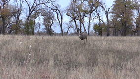 Muilezelherten Buck Walking stock footage