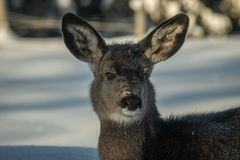 Muilezelherten Fawn Portrait in de Winter Stock Fotografie