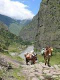 Muilezels in de vallei van Budhi Gandaki stock afbeeldingen