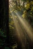 Muir森林光 免版税库存图片