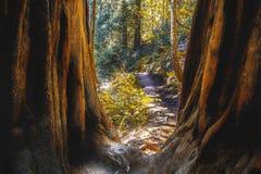 Muir森林在北加利福尼亚 免版税库存图片