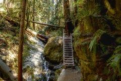 Muir森林在北加利福尼亚 库存照片