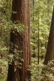 muir森林 免版税库存照片