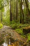 Muir森林 库存图片