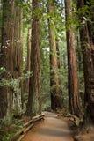 加利福尼亚大muir红木结构树森林 免版税库存图片