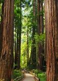 Muir drewien drzew Gigantyczni karły Fotografia Royalty Free