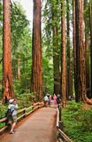 Muir National Monument Cathedral Grove Visitors. Visitors check out the giant Redwoods in Cathedral Grove in Muir Woods National Monument. These Giant Coastal Stock Photography