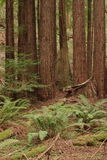 Muir Woods. National Monument forest scene stock photography