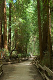 Muir Woods Stock Image