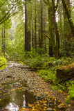 Muir Woods Immagine Stock