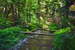Muir Woods, Califórnia imagens de stock