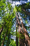 Muir Woods California royaltyfria foton