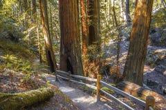 Muir Woods in California del Nord Fotografie Stock
