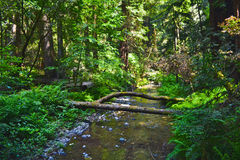 Muir Woods, California stock images