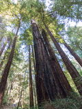 Muir Woods Stock Photography