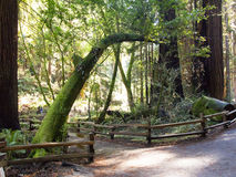 Muir Woods Forest Walking Path stock fotografie