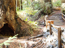 Muir Woods Forest Walking Path royalty-vrije stock afbeelding