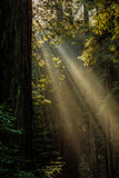 Muir Woods Light. The sun streams through the towering costal redwood trees in Muir Woods National Monument royalty free stock images
