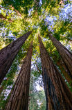 Muir Woods National Monument Stock Photography
