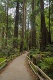 Muir Woods National Monument los E.E.U.U. Imagen de archivo libre de regalías