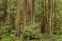 Muir Woods National Monument. Mill Valley, California stock photography