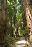 Muir Woods National Park Royalty Free Stock Image