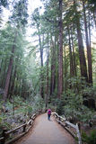 Muir Woods National Park Stock Photography