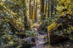 Muir Woods in Nord-Kalifornien lizenzfreie stockbilder