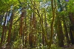 Muir Woods parkerar, Kalifornien Arkivbilder