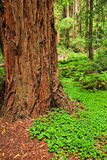 Muir Woods Redwood Tree Trunk Royalty Free Stock Photo