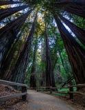 Muir Woods Redwood Trees em CA, EUA Imagens de Stock Royalty Free
