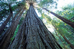 Muir Woods Royalty Free Stock Photography