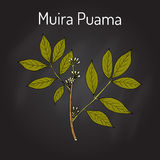 Muira Puama Ptychopetalum olacoides eller styrkaträ, medicinalväxt royaltyfri illustrationer