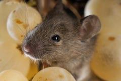 Muis die druiven, Mus-musculus eten stock afbeelding