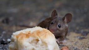 Muis die een cake in een stedelijke huistuin eten stock videobeelden