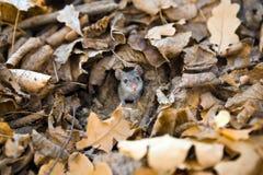Muis die uit de daling bekijkt. Stock Foto