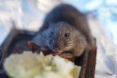 Muis die voedsel bekijken Royalty-vrije Stock Afbeelding
