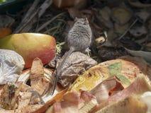 Muis die zich uit het zicht in de bak van het tuincompost spoeden probleem royalty-vrije stock afbeeldingen