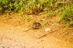 Muis het knagen aan op een landweg in de savanne van Maasai Mara Stock Afbeelding